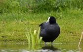 Black coot — Stock Photo