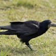 Crow — Stock Photo #10367288