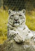 Vit leopard — Stockfoto