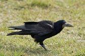 The crow — Stock Photo