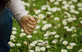 Girl picks daisies — Stock Photo