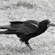 Crow — Stock Photo #10425778