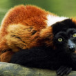 Royalty-Free Stock Photo: Red ruffed lemur