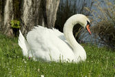 Swan in the grass — Stock Photo