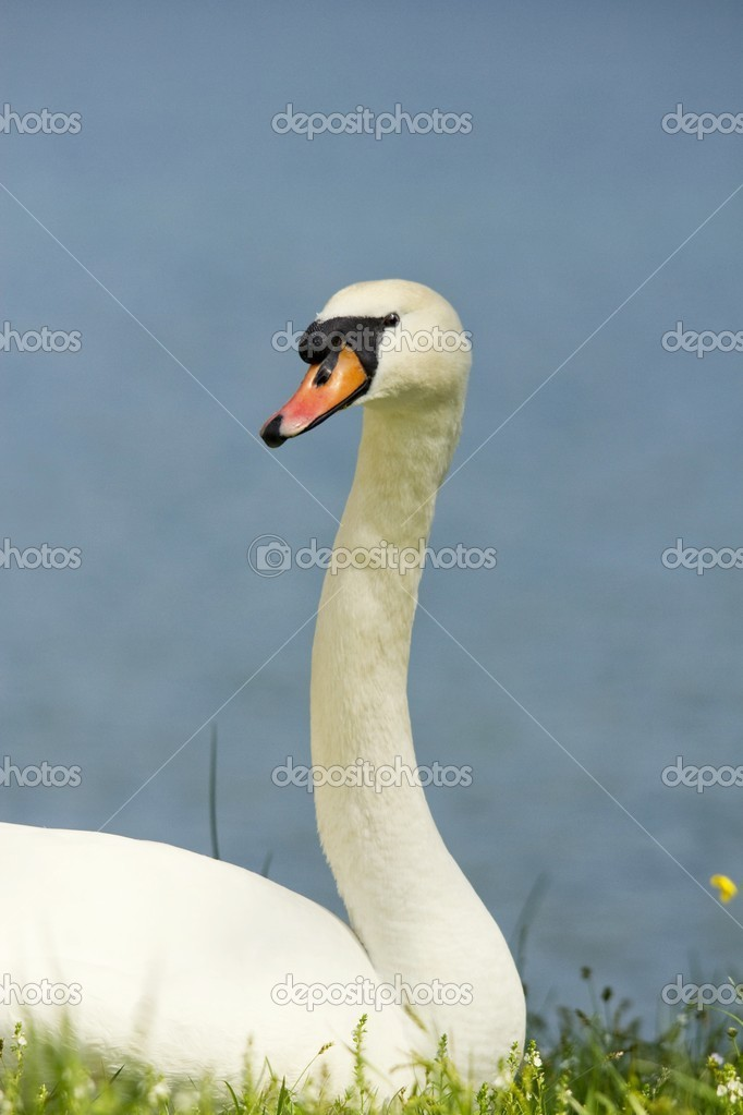 Swan in the grass  Stock Photo #10565869