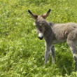 Grey little donkey — Stock Photo