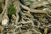 Roots of a tree — Stock Photo