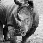 Постер, плакат: The rhino