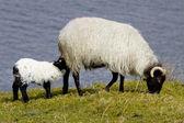 Sheep in ireland — Stock Photo