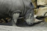 Rhino in the zoo — Stock Photo