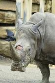 Rhino at the zoo — Stock Photo