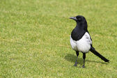 Magpie in the grass — Stock Photo
