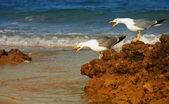 A canção das gaivotas — Foto Stock
