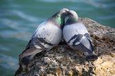 Pombos no amor — Fotografia Stock