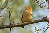 The sparrow — Stock Photo