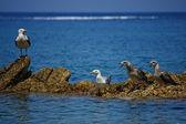 Family of seagulls — Stock Photo