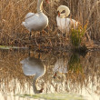 Two swans in the nest — Stock Photo