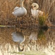 Stock Photo: Two swans in the nest