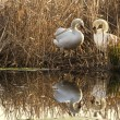 Two swans in the nest — Foto de Stock