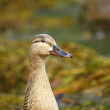 Stock Photo: The duck