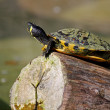 Stock Photo: Small turtle