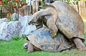 Turtles mating — Stock Photo