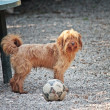 Dog with ball - Lizenzfreies Foto