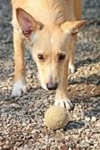 Dog with ball — Stock Photo