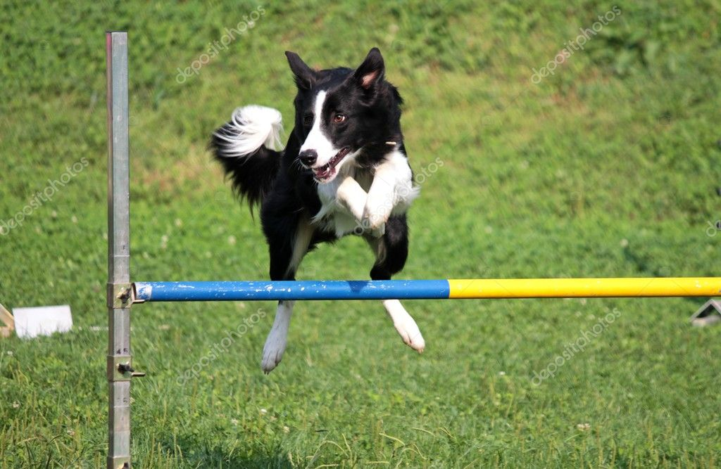 Dog overcomes obstacles in the race  Stock Photo #9771925