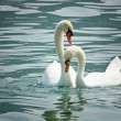Stock Photo: Swans in love