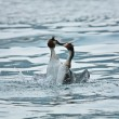 Stock Photo: Grebes struggling