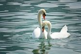 Swans in love — Stock Photo