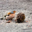 Chaffinch — Stock Photo #9860330