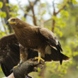 Falconer with Golden eagle — Stock Photo