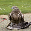 Buzzard — Stock Photo #9974353