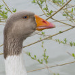 Goose in nature — Stock Photo #9978148