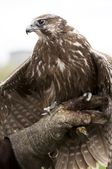 Buzzard — Foto de Stock