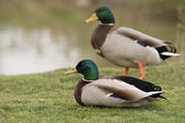 Mallards in the grass — Stock Photo