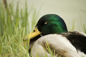 Mallard in the grass — Stock Photo