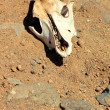 Goat skull in the desert — Stock Photo