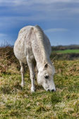 Gallese pony — Foto Stock