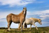 Welsh Pony's — Stock Photo