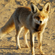 Iraqi Fox — Stock Photo