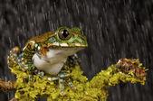 树蛙 — 图库照片