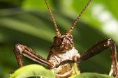 Japon diken böcek sopa — Stok fotoğraf