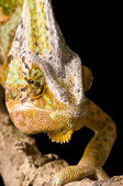 Chameleon Head — Stock Photo