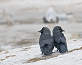 Two Jackdaws — Stock Photo