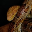 Corn Snake - Pantherophis guttatus guttatus — Stock Photo #9184035