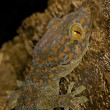 Stock Photo: Tokay Gecko - Gekko gecko