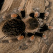 Red Knee Terantula - Brachypelma smithi — Stock Photo